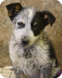 Australian Cattle Dog Mix Puppy for adoption in West Des Moines, Iowa - Walt