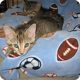Domestic Shorthair Kitten for adoption in Toronto, Ontario - Chappy