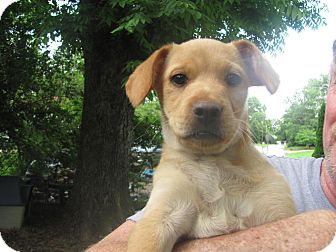 Feist/Terrier (Unknown Type, Small) Mix Puppy for adoption in Humboldt, Tennessee - Tootsie