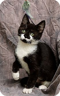 Domestic Shorthair Kitten for adoption in Anna, Illinois - TRINITY