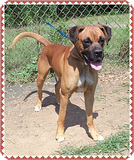 Boxer Mix Dog for adoption in Marietta, Georgia - BRUNO