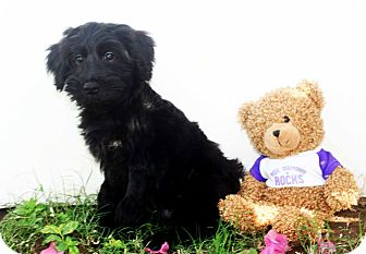 Maltese/Terrier (Unknown Type, Small) Mix Puppy for adoption in Fort Collins, Colorado - Bear