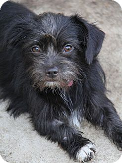 Terrier (Unknown Type, Small)/Shih Tzu Mix Dog for adoption in Yuba City, California - Phoebe