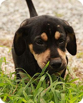Dachshund/Basset Hound Mix Puppy for adoption in Harmony, Glocester, Rhode Island - Hector the hero