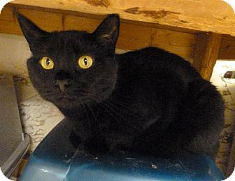 Domestic Shorthair Cat for adoption in Westville, Indiana - Kiki