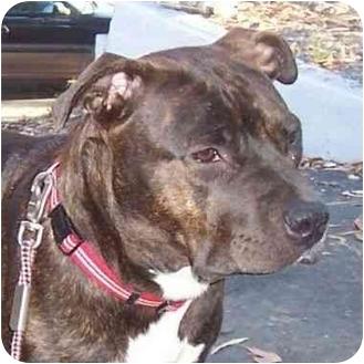 American Pit Bull Terrier Dog for adoption in Berkeley, California - Brandy