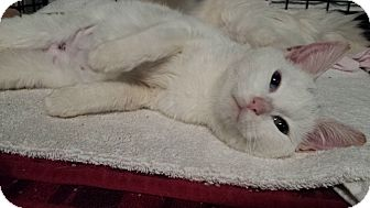 Domestic Mediumhair Kitten for adoption in Irwin, Pennsylvania - Luna