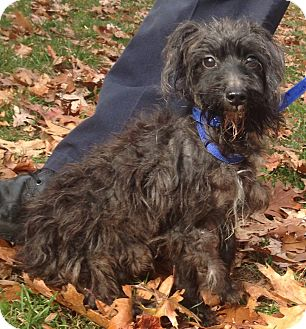 Poodle (Toy or Tea Cup) Mix Dog for adoption in Bloomfield, Connecticut - Goldfish