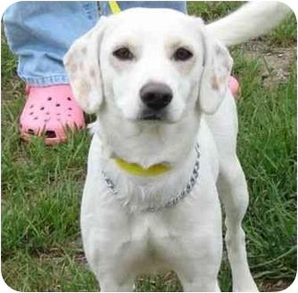 Spaniel (Unknown Type) Mix Puppy for adoption in Winfield, Kansas - Gabby