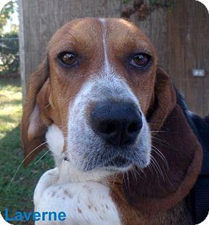 Beagle Dog for adoption in Georgetown, South Carolina - Laverne