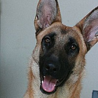 German Shepherd Dog Dog for adoption in Canoga Park, California - Natasha