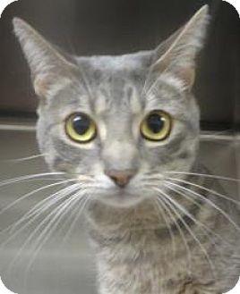 Egyptian Mau Cat for adoption in Dallas, Texas - Smokey