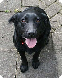 Labrador Retriever/Labrador Retriever Mix Dog for adoption in Long Beach, California - Daisy