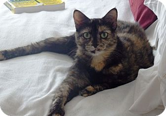 Domestic Shorthair Cat for adoption in Nolensville, Tennessee - Toby