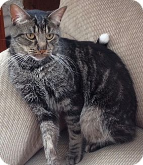 Domestic Shorthair Cat for adoption in Long Beach, New York - Kitty Jo