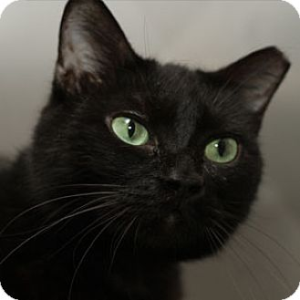 Domestic Shorthair Cat for adoption in Wakinsville, Georgia - Shadow