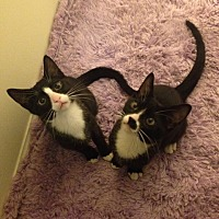 Domestic Shorthair Kitten for adoption in Parkton, North Carolina - Wall Cat and Ceiling Drop