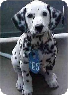 Dalmatian Dog for adoption in Mandeville Canyon, California - Oscar