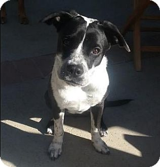 American Staffordshire Terrier/Pointer Mix Puppy for adoption in San Clemente, California - Sadie