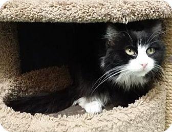 Domestic Mediumhair Cat for adoption in Chicago Heights, Illinois - Jalapeno