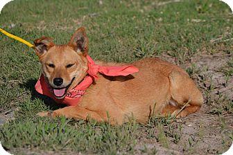 Corgi/Irish Terrier Mix Dog for adoption in Boerne, Texas - Gianna