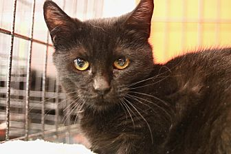 Burmese Kitten for adoption in Cerritos, California - Jet