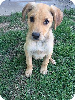 Labrador Retriever Mix Puppy for adoption in Memphis, Tennessee - Jones