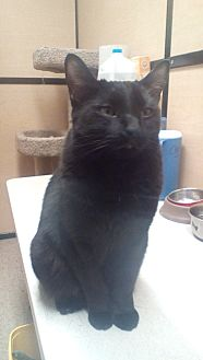 Domestic Shorthair Cat for adoption in West Dundee, Illinois - Briggs