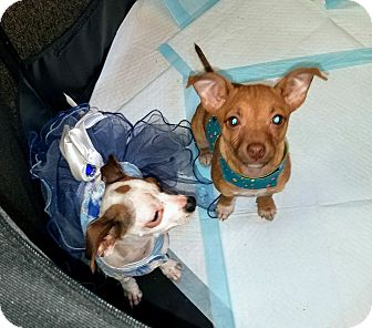 Chihuahua/Terrier (Unknown Type, Small) Mix Puppy for adoption in S. Pasedena, Florida - Doug - the other orphan