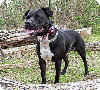 Labrador Retriever/American Staffordshire Terrier Mix Dog for adoption in Portland, Oregon - A - ELLIOTT