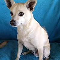 Chihuahua Mix Dog for adoption in Temecula, California - Waggs