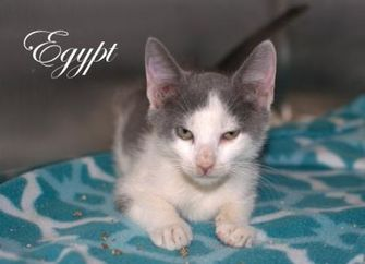 Domestic Shorthair/Domestic Shorthair Mix Cat for adoption in Middleburg, Florida - Egypt