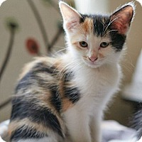 Domestic Shorthair Kitten for adoption in Nashville, Tennessee - Lovey