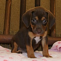 Adopt A Pet :: Chica - Meridian, MS