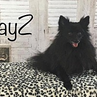 Adopt A Pet :: JayZ - Dallas, TX