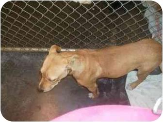 Labrador Retriever/American Pit Bull Terrier Mix Dog for adoption in Higginsville, Missouri - Ginger