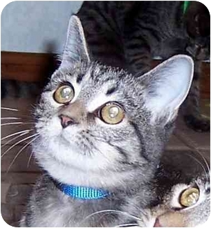 Domestic Shorthair Kitten for adoption in Oklahoma City, Oklahoma - Atoka