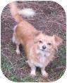 Spaniel (Unknown Type) Mix Dog for adoption in Salem, Oregon - Honey