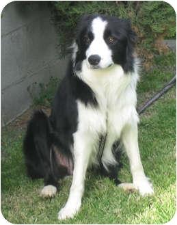 Border Collie Dog for adoption in San Pedro, California - KARMA