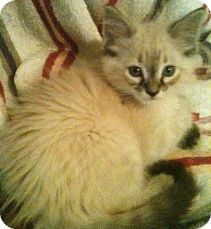 Siamese Kitten for adoption in Newburgh, Indiana - Chelsea