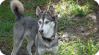 Siberian Husky Dog for adoption in Clearwater, Florida - Ice