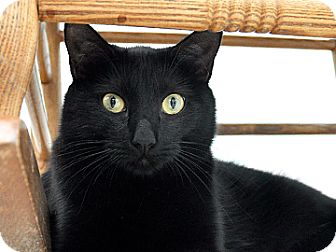 Domestic Shorthair Cat for adoption in Bradenton, Florida - Midnight