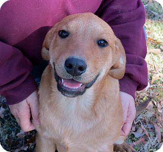 Labrador Retriever/Basset Hound Mix Puppy for adoption in Naugatuck, Connecticut - Memphis