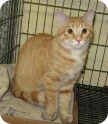 Domestic Shorthair Cat for adoption in Stillwater, Oklahoma - Nalla