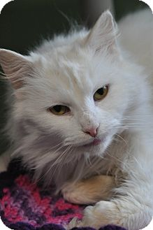 Domestic Longhair Cat for adoption in Saint Albans, Vermont - Icey
