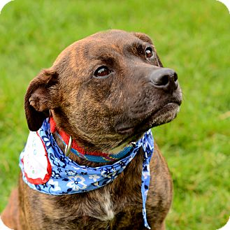 Boxer Mix Dog for adoption in Grand Rapids, Michigan - Mylie