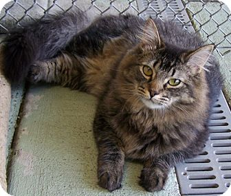 Domestic Longhair Cat for adoption in Grants Pass, Oregon - Boo Boo