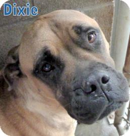 Mastiff Mix Dog for adoption in Georgetown, South Carolina - Dixie