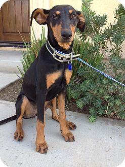 Doberman Pinscher Dog for adoption in Corona, California - CASEY