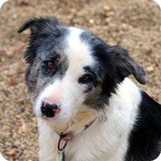 Border Collie/Australian Shepherd Mix Dog for adoption in Garland, Texas - Ruby